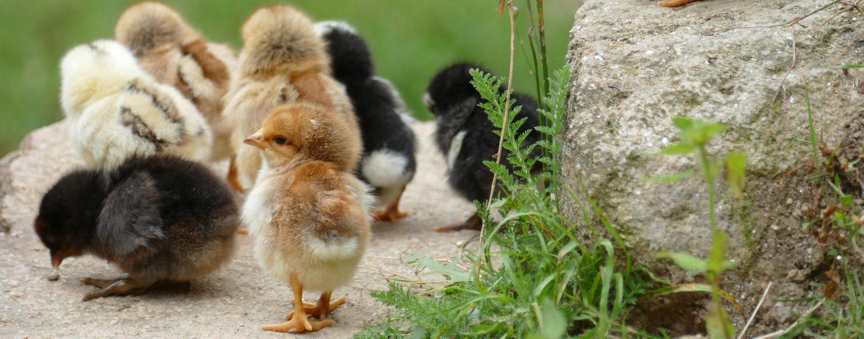 Hühnerhaltung Ratgeber